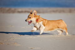 Welsh corgi cardigan dog running on a beach Stock Image