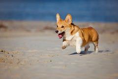 Welsh corgi cardigan dog running on a beach Royalty Free Stock Photos