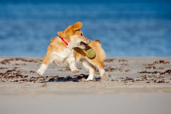 Welsh corgi cardigan dog running on a beach Stock Image