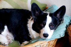 Welsh corgi cardigan Royalty Free Stock Photos