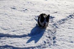 Welsh corgi cardigan. Happy dog Stock Images