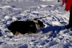 Welsh corgi cardigan. Happy dog Stock Photos