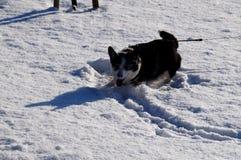 Welsh corgi cardigan. Happy dog Royalty Free Stock Image