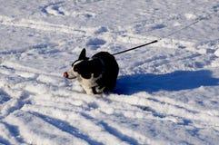 Welsh corgi cardigan. Happy dog Royalty Free Stock Photography