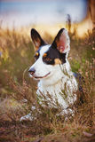 Welsh corgi cardigan lying down Royalty Free Stock Photography