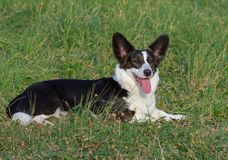 Welsh Corgi Cardigan tricolor with brindle points royalty free stock photography