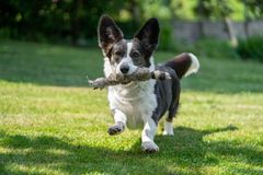 Welsh Corgi Cardigan tricolor with brindle points, running in garden royalty free stock images