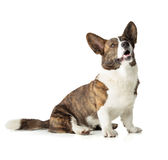 Welsh Corgi Cardigan Royalty Free Stock Image