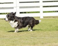 Welsh Corgi Cardigan Stock Images