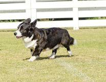 Welsh Corgi Cardigan Stock Photography