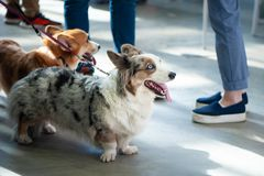 Welsh corgi cardigans color Blue with the owners. royalty free stock photo
