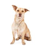 Welsh Corgi and Chihuahua Crossbreed Stock Images