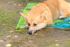 Welsh Corgi close-up. Welsh Corgi dog lies on a blanket with sad eyes. 2018 year of the dog in the eastern calendar. Concept: cute, home, friend, love, affection Stock Image