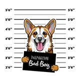 Welsh Corgi criminal. Arrest photo. Mugshot photo. Police placard, Police mugshot, lineup dog prisoner. Photo offender Vector. Illustration Stock Photos