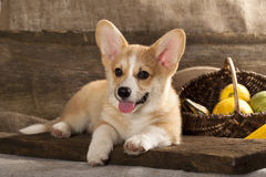 Welsh Corgi Dog Royalty Free Stock Image