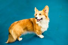 Welsh corgi dog on blue background. Royalty Free Stock Photography