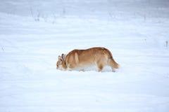 Welsh Corgi dog breed playing Royalty Free Stock Image