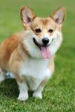 Welsh Corgi dog Stock Images
