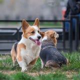 Welsh Corgi Dog Family Playing in Park on Green Grass. Pembroke Corgi Puppy Having Fun Outdoors Royalty Free Stock Images