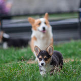 Welsh Corgi Dog Family Playing in Park on Green Grass. Pembroke Corgi Puppy Having Fun Outdoors Stock Photo