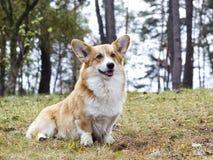 Welsh corgi dog Royalty Free Stock Photography