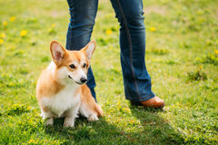 Welsh Corgi Dog Puppy Sitting At Feet Of Owner In Green Summer Grass Stock Photos