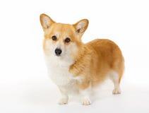 Welsh corgi dog Stock Photo