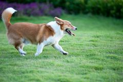 Welsh Corgi dog running Stock Photo