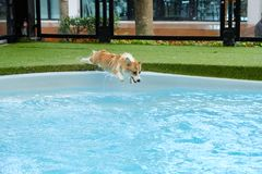 Welsh corgi dog success to overcome fear of jumping into swimming pool on summer weekend.Corgi puppies are happy to jump into the royalty free stock photo