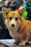Welsh Corgi Royalty Free Stock Photos