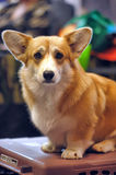 Welsh Corgi Stock Images
