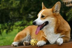 Welsh Corgi on the long chair Stock Photography
