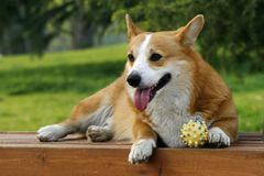 Welsh Corgi on the long chair Stock Photos