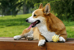 Welsh Corgi on the long chair Royalty Free Stock Photography