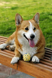 Welsh Corgi on the long chair Royalty Free Stock Photo