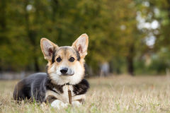 Welsh Corgi lying down with a stick. royalty free stock photos