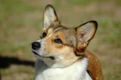 Welsh Corgi Pembroke. A beautiful Welsh Corgi Pembroke dog head portrait with cute expression in the face watching other dogs in the park Stock Photos