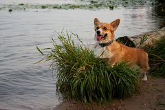 Welsh Corgi Pembroke_28. The red dog of breed of Welsh Corgi Pembroke is situated on the bank of the river on a hummock Stock Photos