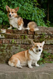 Welsh Corgi Pembroke_30 Stock Photo