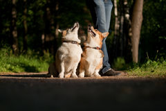 Welsh Corgi Pembroke_33 Royalty Free Stock Photo