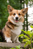 Welsh Corgi Pembroke_39 Stock Photos
