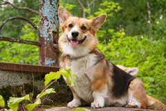 Welsh Corgi Pembroke_41 Stock Photos