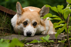 Welsh Corgi Pembroke_42 Royalty Free Stock Photo