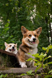 Welsh Corgi Pembroke_44 Royalty Free Stock Photo
