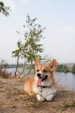 Welsh Corgi Pembroke_6 Royalty Free Stock Photo