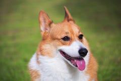 Welsh Corgi Pembroke dog Stock Photo