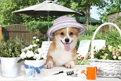 Welsh corgi Pembroke dog in a hat Stock Images