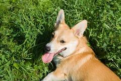 A Welsh Corgi Pembroke dog on the meadow Royalty Free Stock Photos