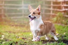 Welsh corgi pembroke dog outdoors Royalty Free Stock Photography