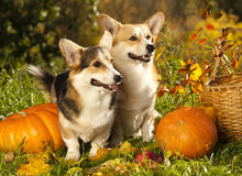 Welsh Corgi Pembroke dog and pumpkin Royalty Free Stock Photography